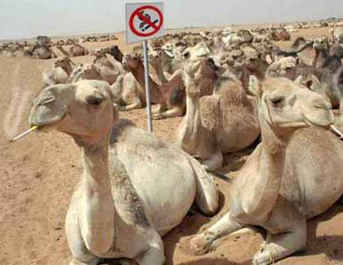 Camels pic from Animals
