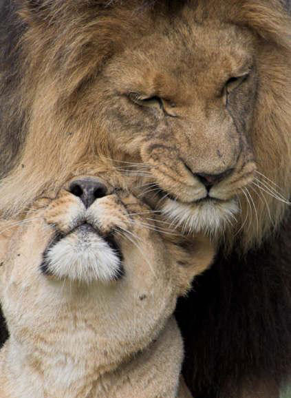 Lions in love pic from Animals, Breathtaking, Love